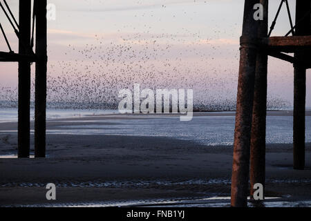 Blackpool, UK. 14th Mar, 2016. UK Weather. Thousands of Starlings swooped around the beach and soared above Blackpool' North Pier as the sun set on the Fylde coast. Credit:  Paul Melling/Alamy Live News
