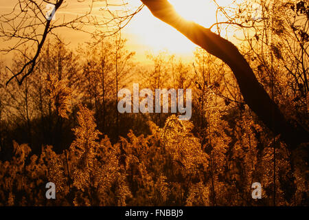 Sunset with trees and reeds in silhouette, the sunlight shining in the plumes - Stock Photo