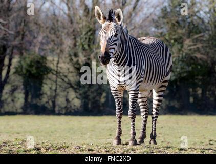 Hartmann's mountain zebra in pasture, looking towards camera