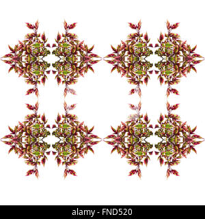 Coleus leaves seamless isolated on white background - Stock Photo