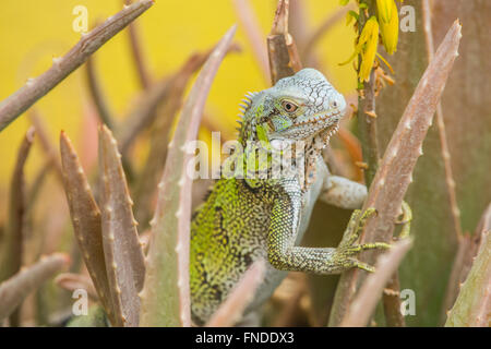 Beautiful young green iguanas walking on the beach towards an cactus. There it eats the Yellow Flower from the cactus. - Stock Photo