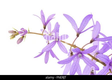 Petrea Flowers. (Queen's Wreath, Sandpaper Vine, Purple Wreath)  isolated on white - Stock Photo