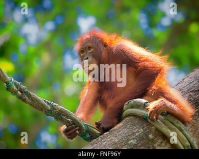 Wild Borneo Orangutan - Stock Photo