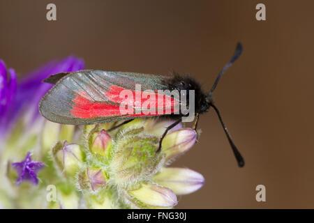 Transparent Burnet (Zygaena purpuralis) resting on a flower buds - Stock Photo