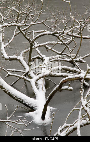 Snow-covered fallen tree at the edge of a reclaimed gravel pit, Attenborough Nature Reserve, Notts, UK - Stock Photo
