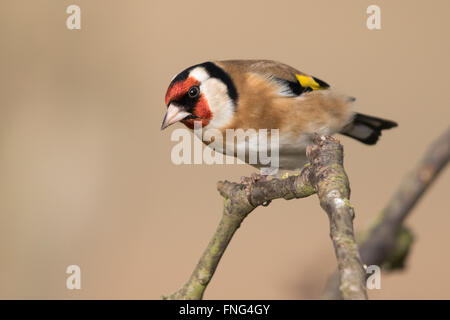 European Goldfinch (Carduelis carduelis) - Stock Photo
