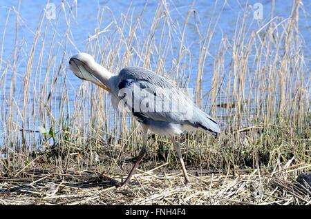 Grey heron  Ardea cinere preening in reeds Welsh Wildlife and Wetlands Centre Cilgerran Cardigan Pembrokeshire Wales - Stock Photo