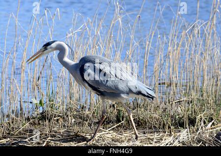 Grey heron Ardea cinerea fishing in reeds at Welsh Wildlife and Wetlands Centre  Cilgerran Cardigan Wales Cymru - Stock Photo