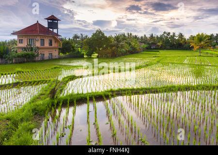Beautiful sunset over the rice field, Ubud, Bali, Indonesia. - Stock Photo