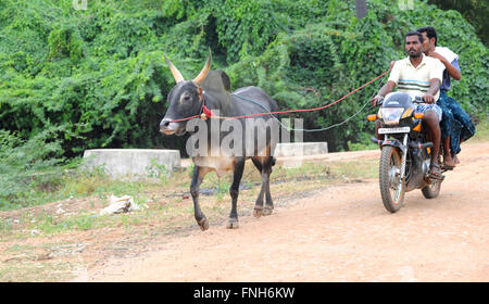 Jallikattu bull taming during Pongal festival.Madurai,Tamil Nadu,India. Jallikattu bull running exercise training - Stock Photo