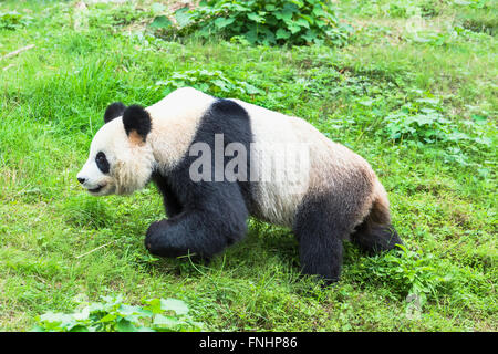 Giant Panda (Ailuropoda melanoleuca), China Conservation and Research Centre for the Giant Pandas, Chengdu, Sichuan, - Stock Photo