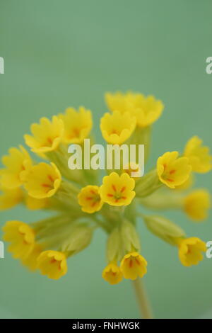 An English cowslip (primula veris) in full bloom in Derbyshire, England UK - Stock Photo