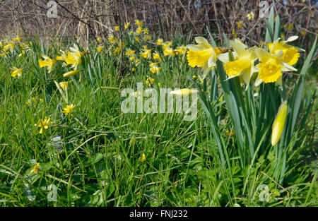 Wild Daffodils - Narcissus pseudonarcissus Growing in a field edge with Lesser Celandine - Ranunculus ficaria - Stock Photo