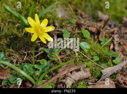 Lesser Celandine - Ranunculus ficaria Early Spring Flower in habitat - Stock Photo