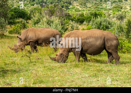 White Rhino in Masai Mara Africa - Stock Photo