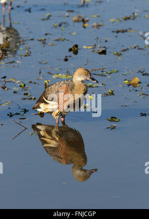 Plumed Whistling-duck (Dendrocygna eytoni), Mamukala Wetlands, Kakadu National Park, Northern Territory, Australia - Stock Photo