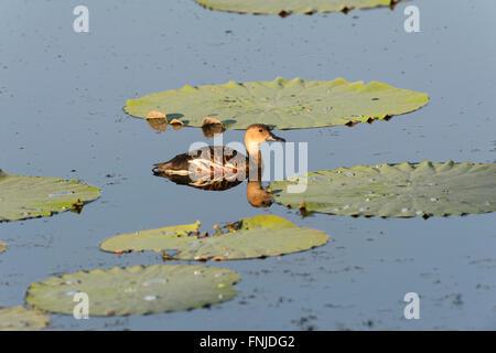 Wandering Whistling-duck (Dendrocygna arcuata), Fogg Dam, Northern Territory, Australia - Stock Photo