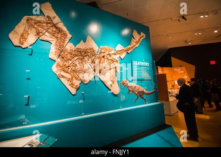 (160315) -- NEW YORK, March 15, 2016 (Xinhua) -- A visitor looks at the fossil of the dinosaur 'Anchiornis huxleyi' - Stock Photo