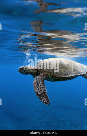 Turtle hanging out on at the surface. - Stock Photo