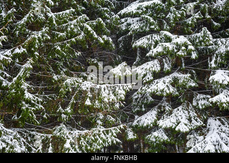 Close-up winter background with fir trees in the snow. - Stock Photo