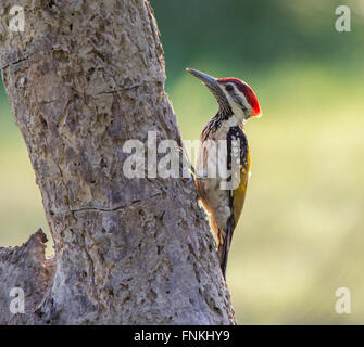 Black Rumped Flameback or Lesser Golden Backed Woodpecker perched - Stock Photo