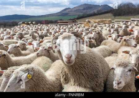 Ram amid flocks of sheep herd, the landscape of the Central Bohemian Uplands, Czech Republic - Stock Photo