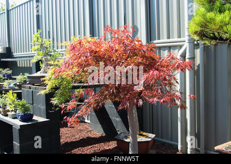 Acer palmatum dissectum atropurporeum or known as Red leaf weeping Japanese Maple - Stock Photo