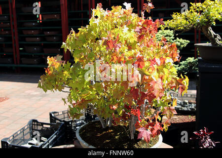 Japanese maple bonsai - Stock Photo