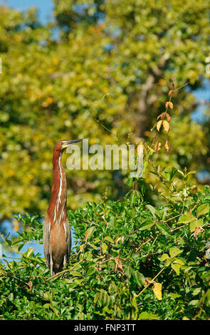 Rufescent tiger heron (Tigrisoma lineatum) sitting on tree, Pantanal, Brazil - Stock Photo