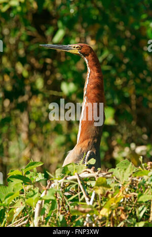Rufescent tiger heron (Tigrisoma lineatum) looking out of the bushes, Pantanal, Brazil - Stock Photo