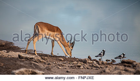 Young male Impala, Aepyceros melampus, drinking from a waterhole in Etosha National Park, Namibia, with two Blacksmith - Stock Photo