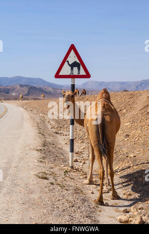 Camel and camel  road sign in Dhofar, Oman. - Stock Photo