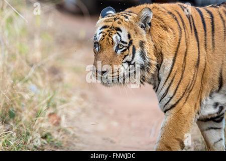 Waghdoh or Scarface huge dominant male Tiger at Tadoba, India. ( Panthera Tigris ) - Stock Photo