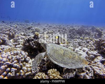Swimming with green sea turtles and tropical fishes at the Bora Bora lagoon, Moorea, French Polynesia, Society Islands, - Stock Photo