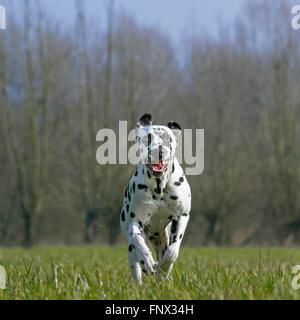 Dalmatian / carriage dog / spotted coach dog running in field - Stock Photo