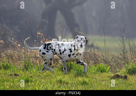Dalmatian / carriage dog / spotted coach dog walking in field - Stock Photo