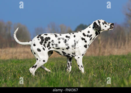 Dalmatian / carriage dog / spotted coach dog in field - Stock Photo