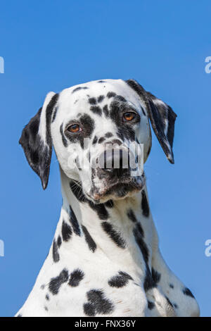Dalmatian / carriage dog / spotted coach dog close up portrait - Stock Photo