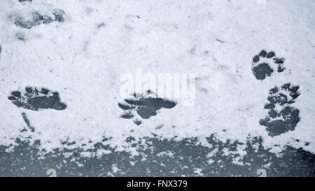European otter (Lutra lutra) footprints in the snow on frozen pond in winter - Stock Photo