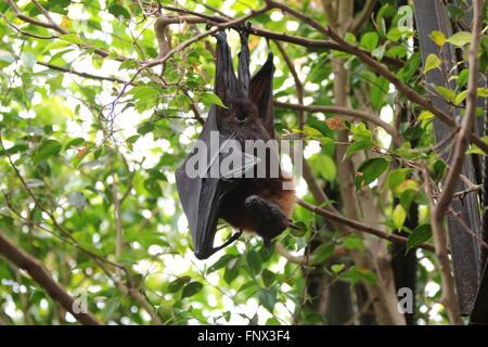Large flying fox / large fruit bat / kalong (Pteropus vampyrus) - Stock Photo