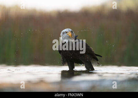 Bald Eagle / American Eagle ( Haliaeetus leucocephalus ), adult, stands in shallow water, shaking its head. - Stock Photo