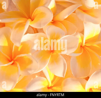 Frangipani flowers (plumeria) background - Stock Photo
