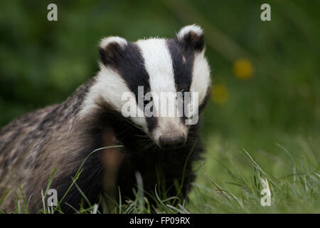 A Young Eurasian Badger (Meles meles) on a garden lawn looking directly at the viewer - Stock Photo