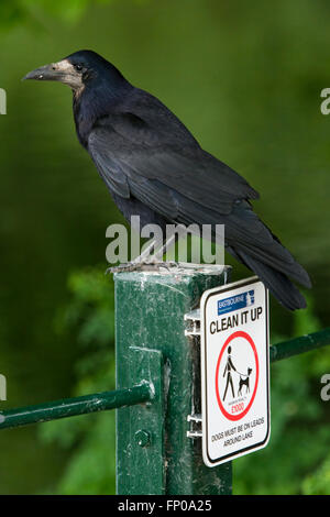 An adult Rook (Corvus frugilegus) perched on a fencepost with a 'clean it up' sign in Hampden Park, Eastbourne, - Stock Photo