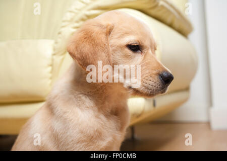 Labrador retriever puppy - Stock Photo