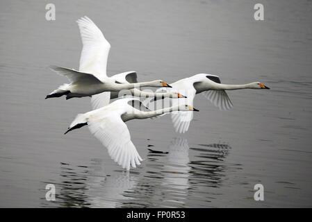 Huai'an, China's Jiangsu Province. 17th Mar, 2016. Swans fly over the Qili Lake in Xuyi County of Huai'an City, - Stock Photo