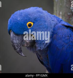 A closeup of a hyacinth macaw. - Stock Photo