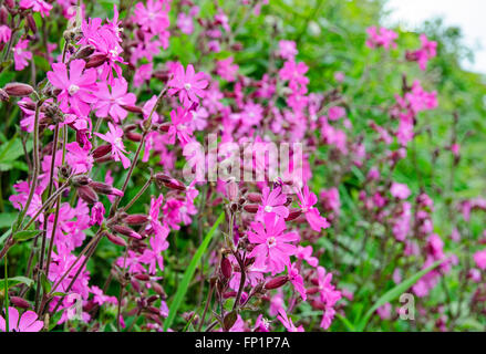 Red Campion in full flower - Stock Photo