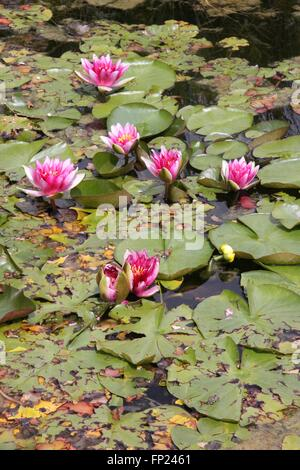 Water Lilly Pond - Stock Photo