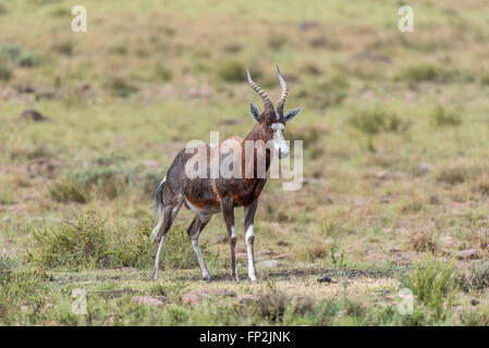 A wet blesbok, Damaliscus pygargus phillipsi, in the Mountain Zebra National Park near Cradock in South Africa - Stock Photo